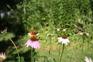 coneflower-butterfly