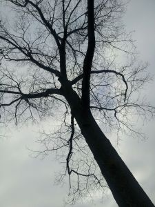 leafless oak tree