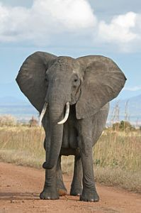 African Bush elephant (source: Wikipedia)