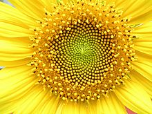 Sunflower Helianthus_whorl