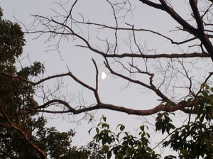 moon plays in oak tree one last time